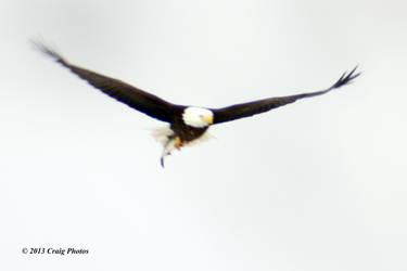 13009 0080 American Bald Eagle by wtsecraig
