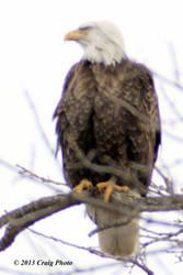 13012 0015 American Bald Eagle by wtsecraig