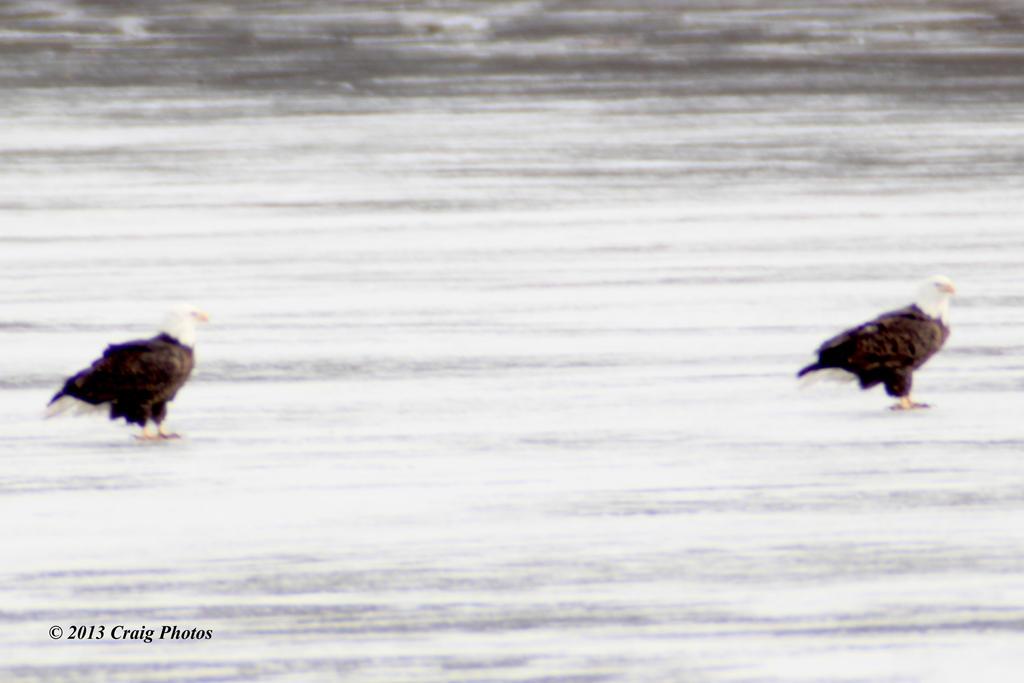 13013 0027 Pair Americn Bald Eagles by wtsecraig