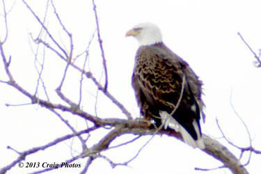 13014 0029 American Bald Eagle by wtsecraig
