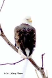 13016 0033 American Bald Eagle by wtsecraig