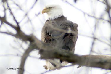 13017 0037 American Bald Eagle