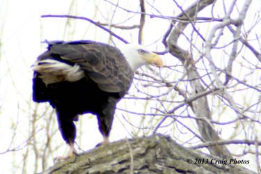 13018 0042 American Bald Eagle