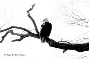 13019 American Bald Eagle
