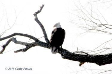 13019 American Bald Eagle by wtsecraig