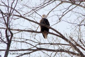 13020 American Bald Eagle