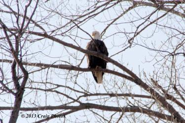 13020 American Bald Eagle by wtsecraig