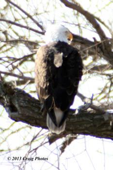 13022 American Bald Eagle