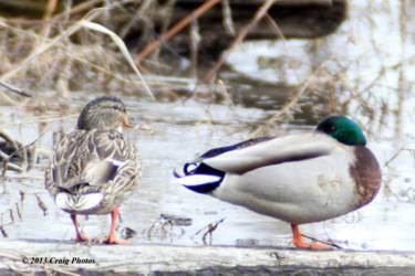 13024 Mallard Duck(s)