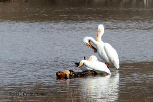 13025 American White Pelicans