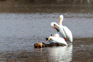 13025 American White Pelicans by wtsecraig