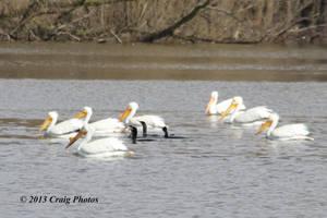 13026 American White Pelicans