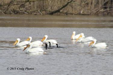 13026 American White Pelicans by wtsecraig