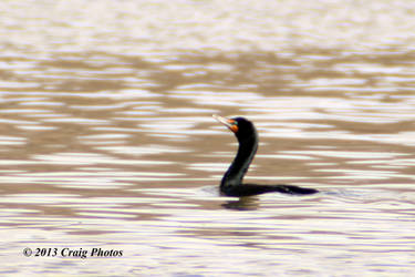 13027 Double-Crested Cormorant