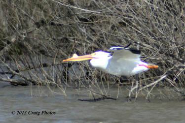 13030 American White Pelican