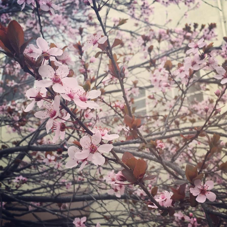 Sakura by Tmntfan13