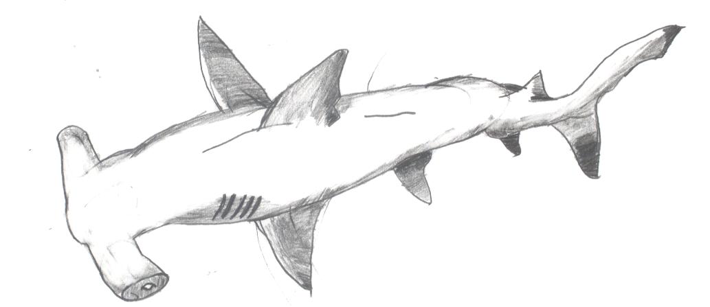 Pencil: Hammer-head Shark by Punisher1 on DeviantArt