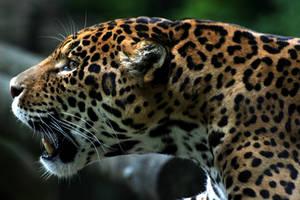 Jaguar by AExils