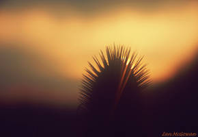 Teasel sunset . by 999999999a