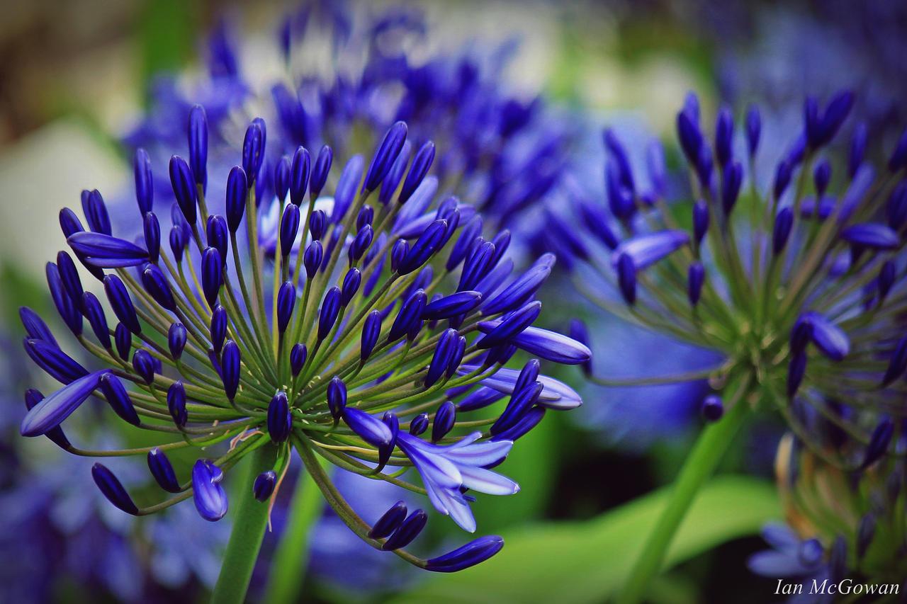 24 Фото цветка агапантус