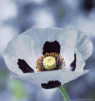 Poppy . by 999999999a