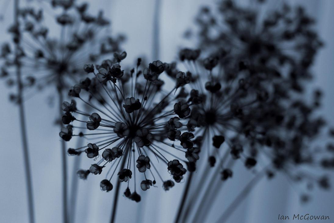 Allium seed head . by 999999999a