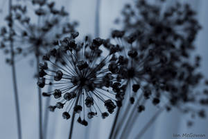 Allium seed head . by 999999999a
