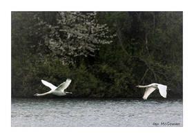 Swan flight . by 999999999a