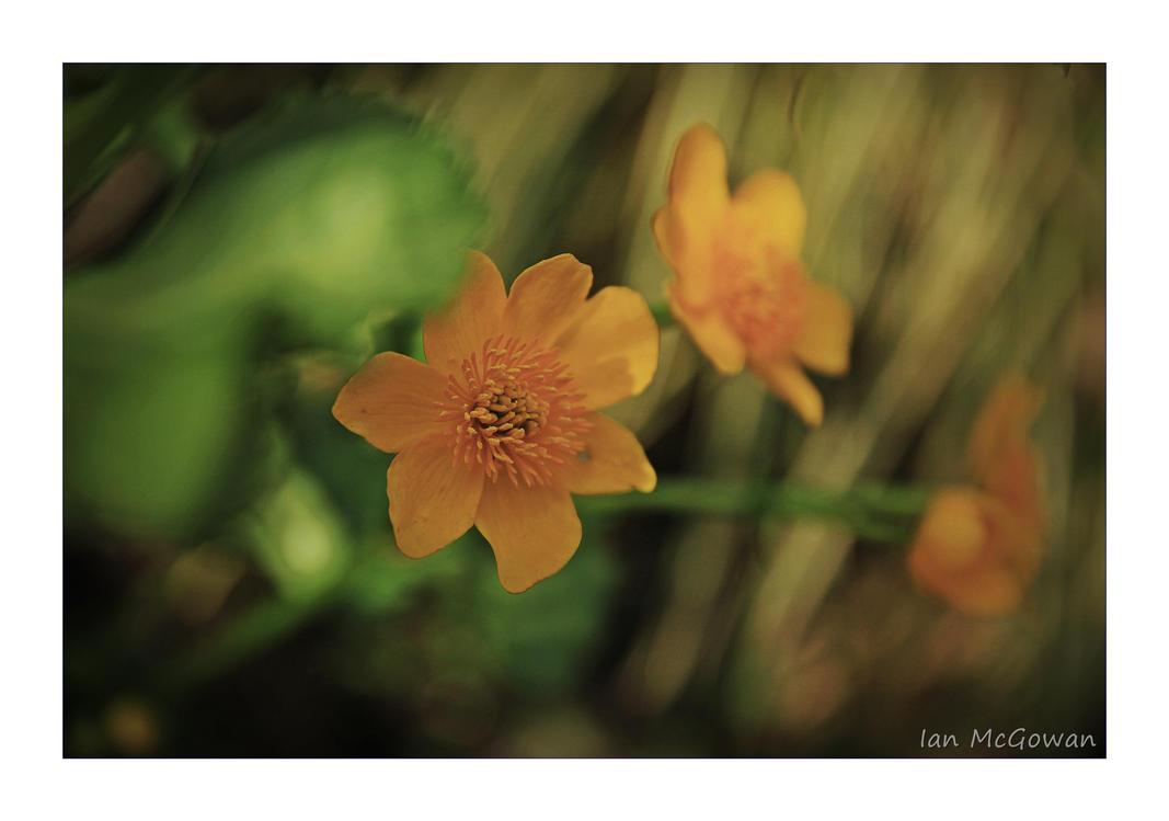 Marsh Marigold . by 999999999a on DeviantArt