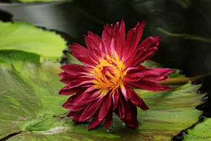 Waterlily red . by 999999999a