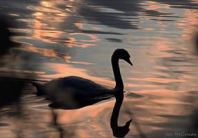 Swanning around . by 999999999a