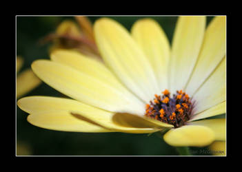 Osteospermum . by 999999999a