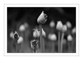 Allium buds emerge .