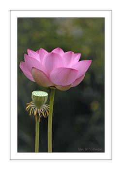 Lotus .