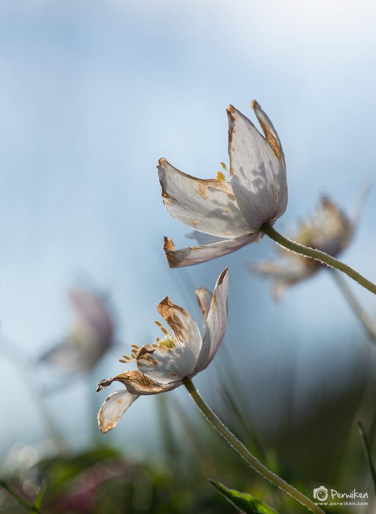 Anemone Nemorosa Hvitveis by perwiken