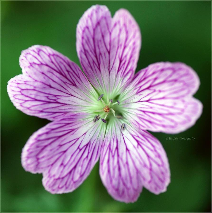 amazing flower by Gluecksbaerchi