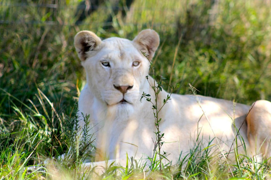 White Lioness by yaelzivan on DeviantArt