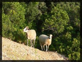 Croatia IV - sheeps by mmmedo