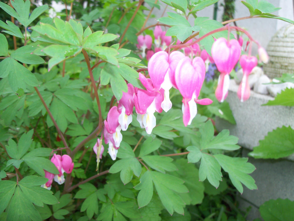 Bleeding Heart Flower By Mecarion On Deviantart
