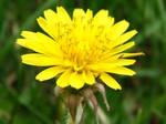 Dandelion by Star-mysteress