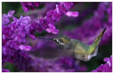 Colibri by HappyCvete