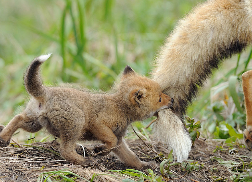 Baby Fox With Its Mum By Wolfheart432 On Deviantart