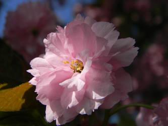 Cherry Blossoms by ninjandre4