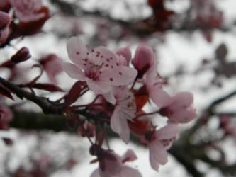 Cherry Blossoms (Early photo i think) by ninjandre4