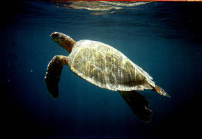 Hawksbill turtle on the surface