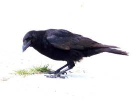 Crow ( high contrast) by Satorstar