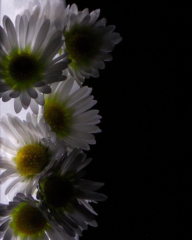 Bright as a daisy by Satorstar