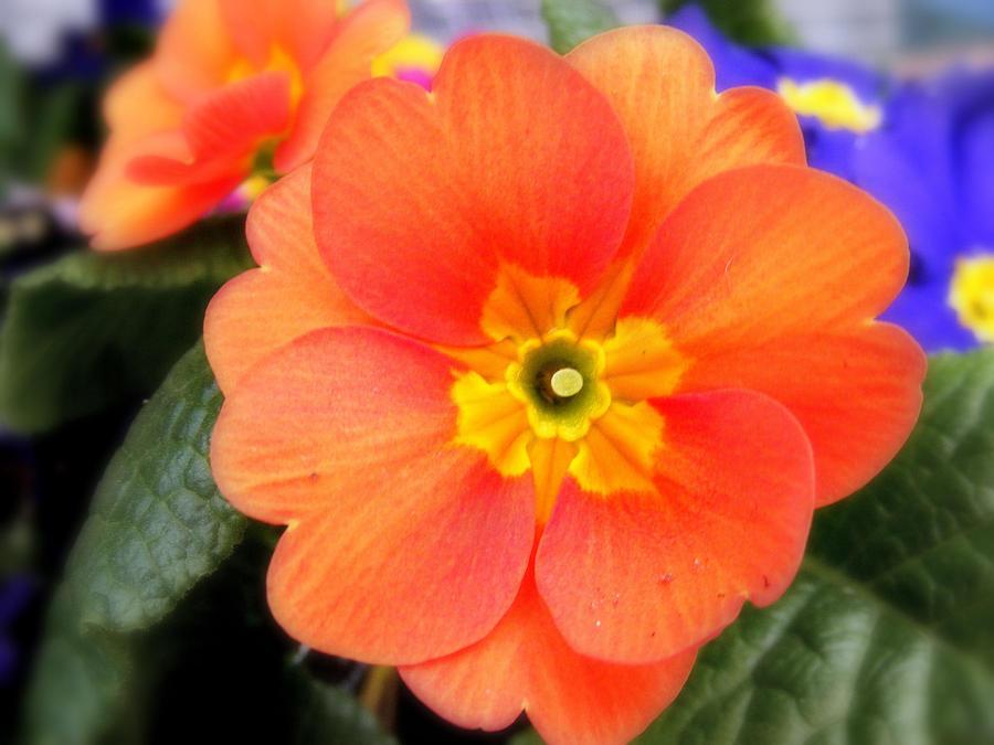 Orange and Blue flowers. by nitrobandicoot on DeviantArt