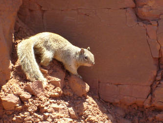 canyon squirrel by dxball