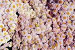 Flower Texture 1-Stock